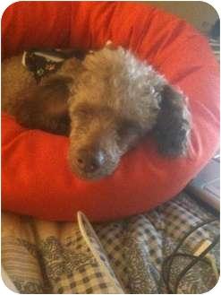 Poodle (Miniature) Dog for adoption in Essex Junction, Vermont - Cadbury
