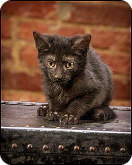 American Shorthair Kitten for adoption in Owensboro, Kentucky - Basel