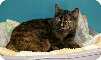 Domestic Mediumhair Cat for adoption in Dover, Ohio - Christmas