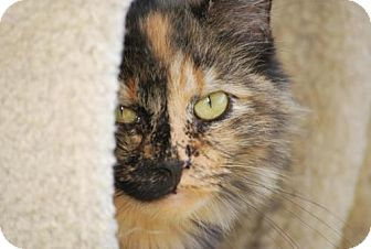 Domestic Longhair Cat for adoption in Trevose, Pennsylvania - Tallulah