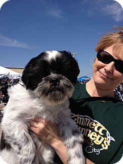 Shih Tzu Mix Dog for adoption in Dallas, Texas - Charlie