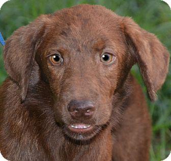 Labrador Retriever/Golden Retriever Mix Puppy for adoption in Staunton, Virginia - Little One