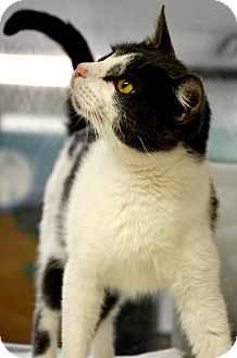 Domestic Shorthair Cat for adoption in Fort Smith, Arkansas - Frankie