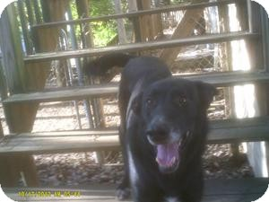 German Shepherd Dog/Labrador Retriever Mix Dog for adoption in Claymont, Delaware - Gwinny