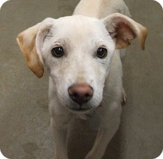 Terrier (Unknown Type, Medium)/Labrador Retriever Mix Dog for adoption in Kalamazoo, Michigan - Susi