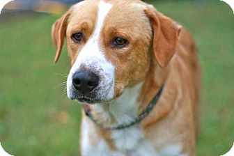 Labrador Retriever/Hound (Unknown Type) Mix Dog for adoption in Salem, New Hampshire - HENRY
