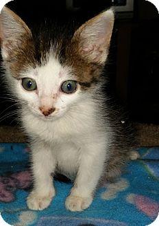 American Shorthair Kitten for adoption in Tampa, Florida - Jazzy
