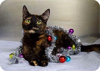 Domestic Shorthair Cat for adoption in Dublin, California - Electra
