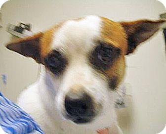 Chihuahua Mix Dog for adoption in Spokane, Washington - Spanky