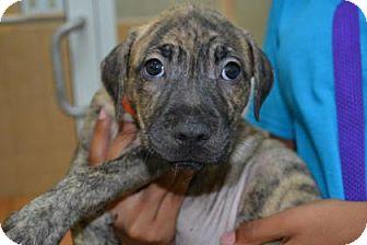 American Bulldog Mix Puppy for adoption in Miami, Florida - Hailey
