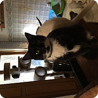 Domestic Shorthair Cat for adoption in Buchanan, Tennessee - Toby-Lenore
