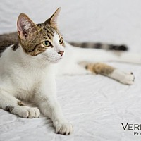 Domestic Shorthair Cat for adoption in St. Louis, Missouri - Verdana (Courtesy Post)
