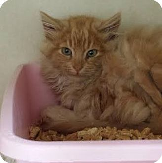 Domestic Longhair Kitten for adoption in Westminster, California - Norman