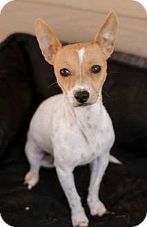 Rat Terrier Mix Dog for adoption in Lincoln, California - Maybelle