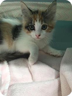 Domestic Shorthair Kitten for adoption in Fountain Hills, Arizona - MUFFIN