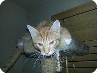 Domestic Shorthair Kitten for adoption in Phoenix, Arizona - L. Garfield