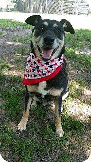Shepherd (Unknown Type)/Husky Mix Dog for adoption in Croydon, New Hampshire - Violet - Adopted!