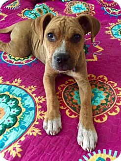 Terrier (Unknown Type, Medium) Mix Puppy for adoption in Detroit, Michigan - Ducky-Adopted!