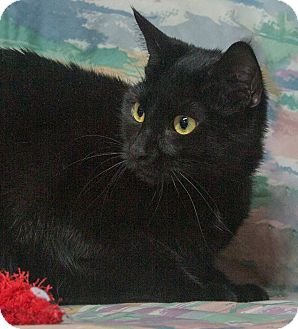 Domestic Shorthair Cat for adoption in Elmwood Park, New Jersey - Jem