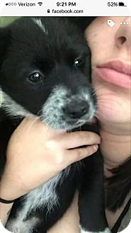 Border Collie/Australian Cattle Dog Mix Puppy for adoption in whiting, New Jersey - maxi