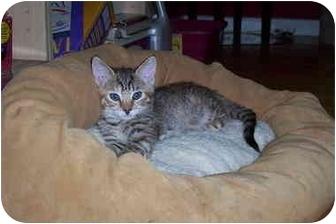 Domestic Shorthair Kitten for adoption in Davis, California - Sukey
