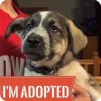 Husky/Shepherd (Unknown Type) Mix Puppy for adoption in Regina, Saskatchewan - Eris