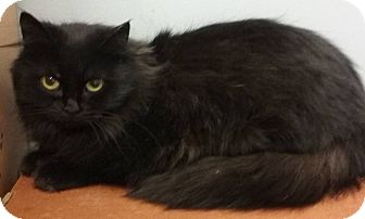 Domestic Longhair Cat for adoption in Byron Center, Michigan - Penny