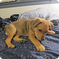 Adopt A Pet :: Jules - Bowie, MD