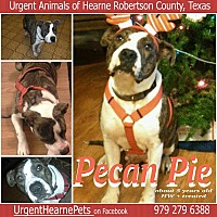 American Staffordshire Terrier Mix Dog for adoption in Hearne, Texas - Pecan Pie