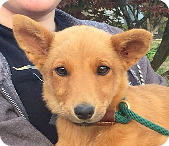 Golden Retriever/German Shepherd Dog Mix Puppy for adoption in KITTERY, Maine - HAZEL AND HONEY