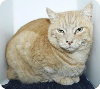 Domestic Shorthair Cat for adoption in Grass Valley, California - Ginger
