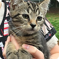 Domestic Shorthair Kitten for adoption in North Wilkesboro, North Carolina - Cooper