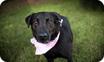 Labrador Retriever/Border Collie Mix Dog for adoption in Fort Valley, Georgia - Thelma