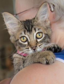Domestic Mediumhair/Domestic Shorthair Mix Cat for adoption in Lihue, Hawaii - Beauty