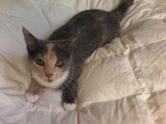 Domestic Shorthair/Domestic Shorthair Mix Cat for adoption in Kinston, North Carolina - Jingle