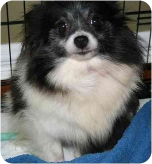 Pomeranian Dog for adoption in House Springs, Missouri - Amy