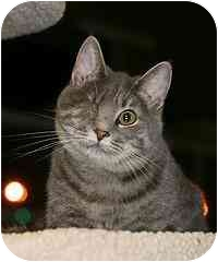 Domestic Shorthair Cat for adoption in Marietta, Georgia - Silver