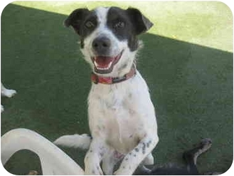 Jack Russell Terrier/Australian Cattle Dog Mix Dog for adoption in Overland Park, Kansas - Brandy