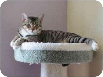 Domestic Shorthair Cat for adoption in Austin, Texas - Cooper