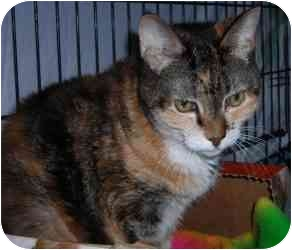 Calico Cat for adoption in Putnam Valley, New York - Daphne