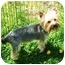 Photo 2 - Yorkie, Yorkshire Terrier Dog for adoption in Kokomo, Indiana - Jackson