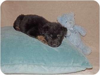 Labrador Retriever/Border Collie Mix Puppy for adoption in Phoenix, Arizona - Tybalt