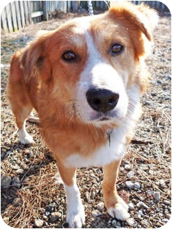 Collie/Shepherd (Unknown Type) Mix Dog for adoption in Detroit, Michigan - Cole-Pending