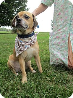 Pug/Beagle Mix Dog for adoption in Long Beach, New York - Odie