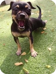 Chihuahua/Pug Mix Dog for adoption in Worcester, Massachusetts - Tia