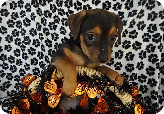 Patterdale Terrier (Fell Terrier)/Jack Russell Terrier Mix Puppy for adoption in Thomasville, North Carolina - Mocha