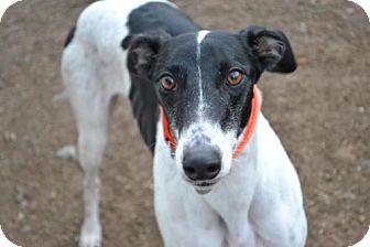 Greyhound Dog for adoption in Chagrin Falls, Ohio - Frankie (FTK Cobra Clutch)