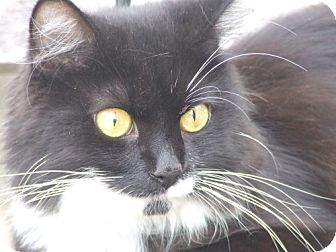Domestic Longhair Cat for adoption in Baltimore, Maryland - Gage