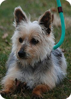 Yorkie, Yorkshire Terrier/Cairn Terrier Mix Dog for adoption in Providence, Rhode Island - Joey