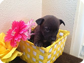 Labrador Retriever/German Shepherd Dog Mix Puppy for adoption in Inglewood, California - Sasha